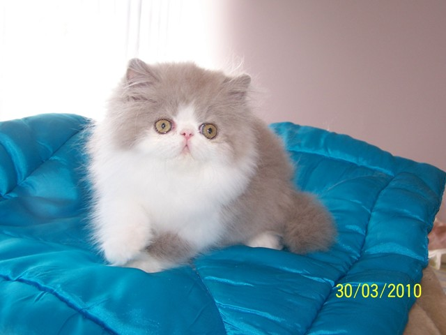 angel as kitten